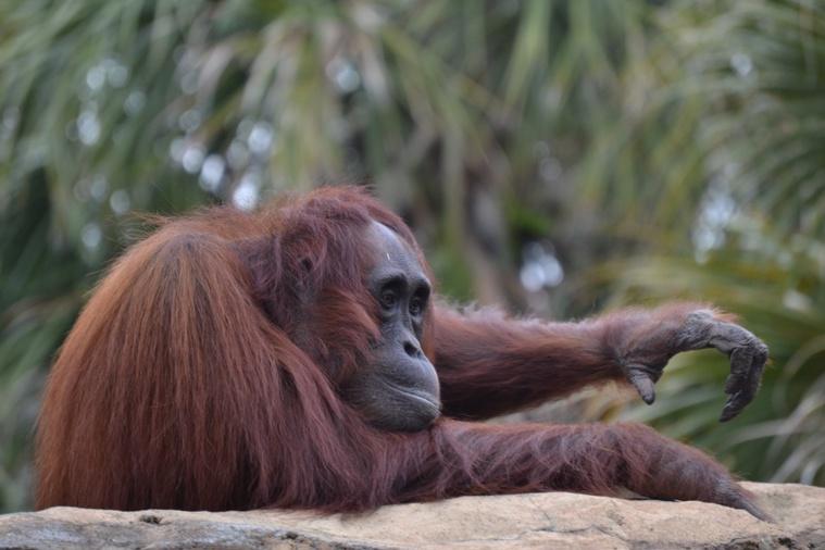 Découverte d'une nouvelle espèce d'orang-outan à Sumatra
