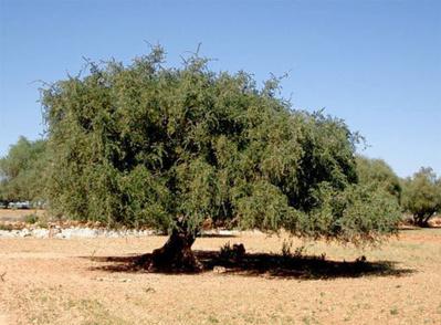 La face cachée du commerce de l'huile d'argan