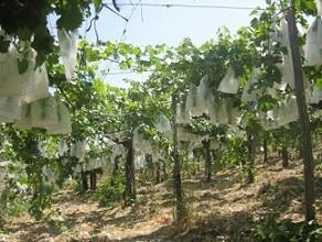 Vin en culture biologique - Crédit photo : Salvo965