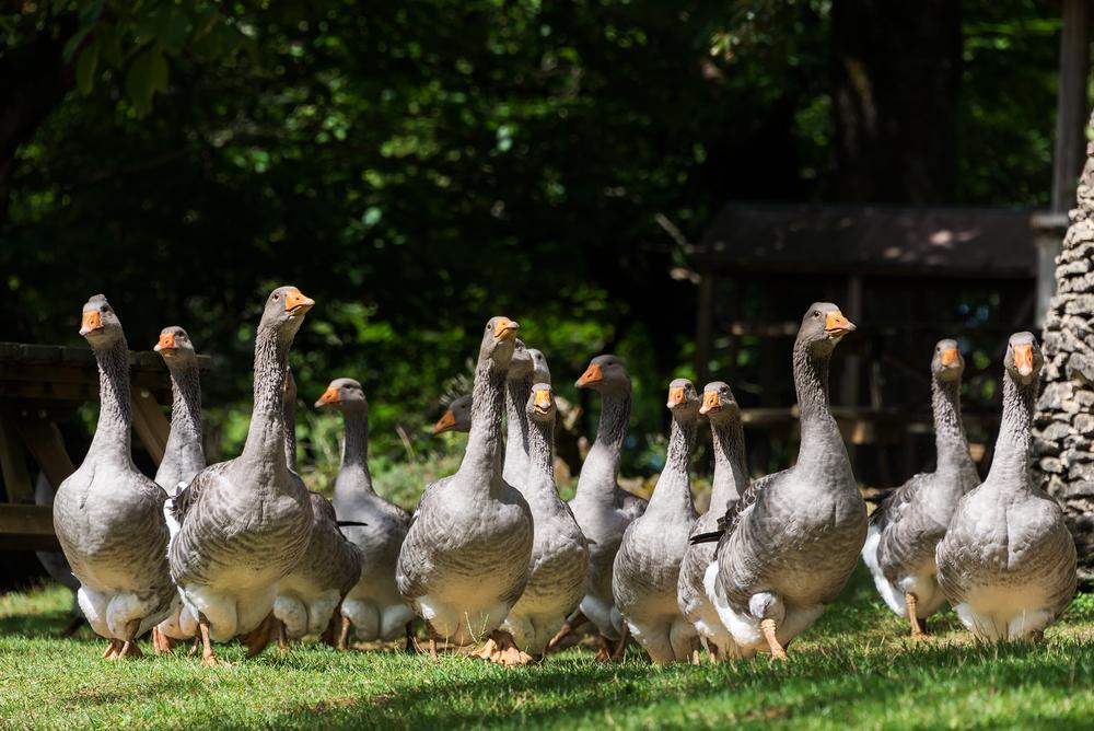 New York : le foie gras interdit à la commercialisation dès 2022