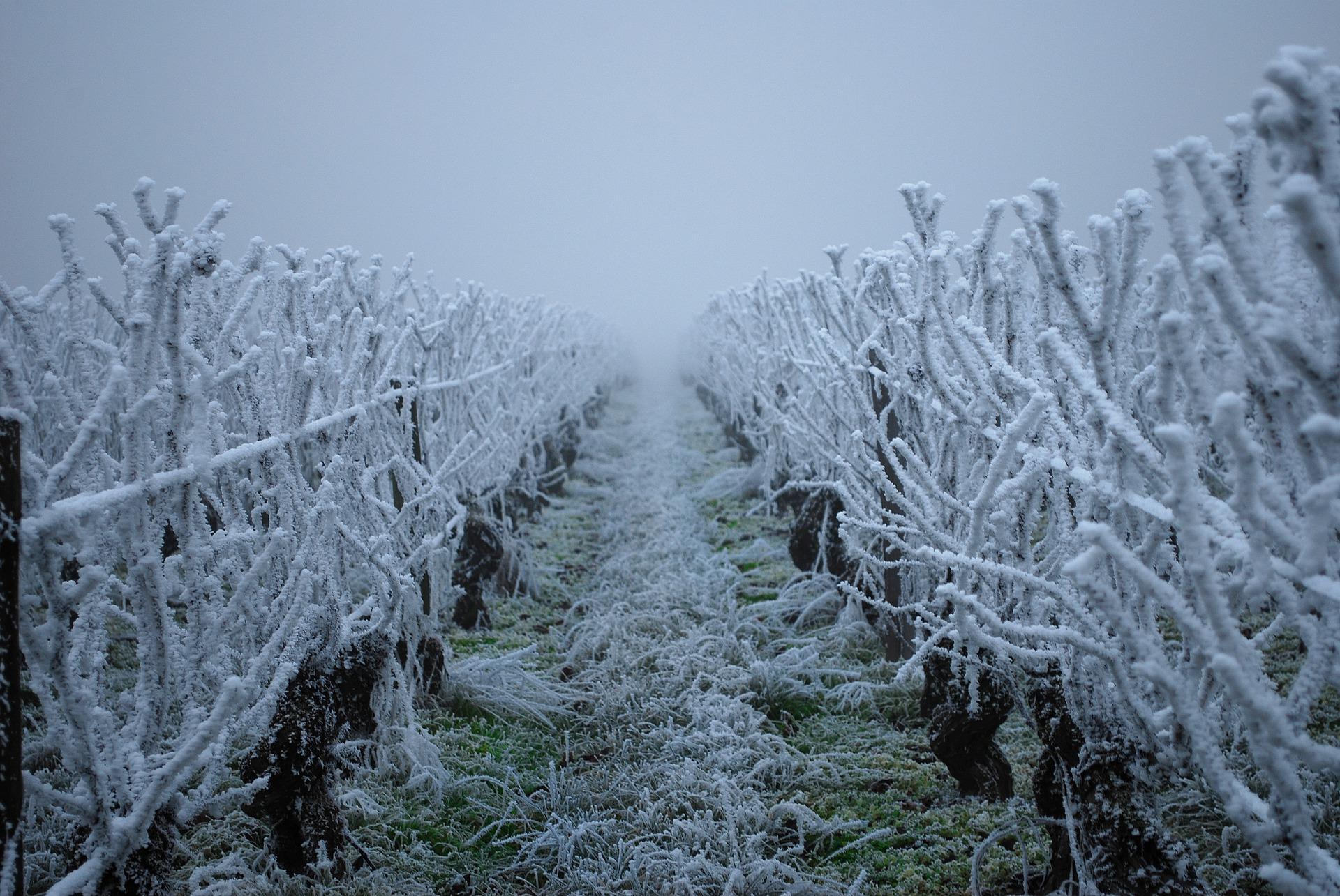 Un épisode de gel dévastateur pour les vignobles français. (photo : Pixabay)