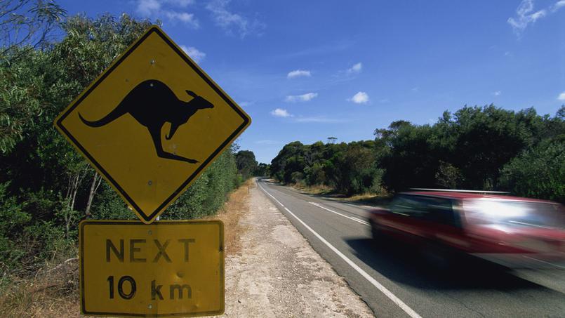Danger, kangourous