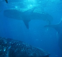 Réunion : nouvelle attaque de requin