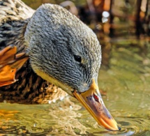 Grippe aviaire détectée dans un élevage du Tarn