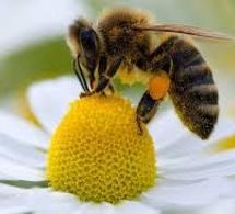 Des abeilles démineuses